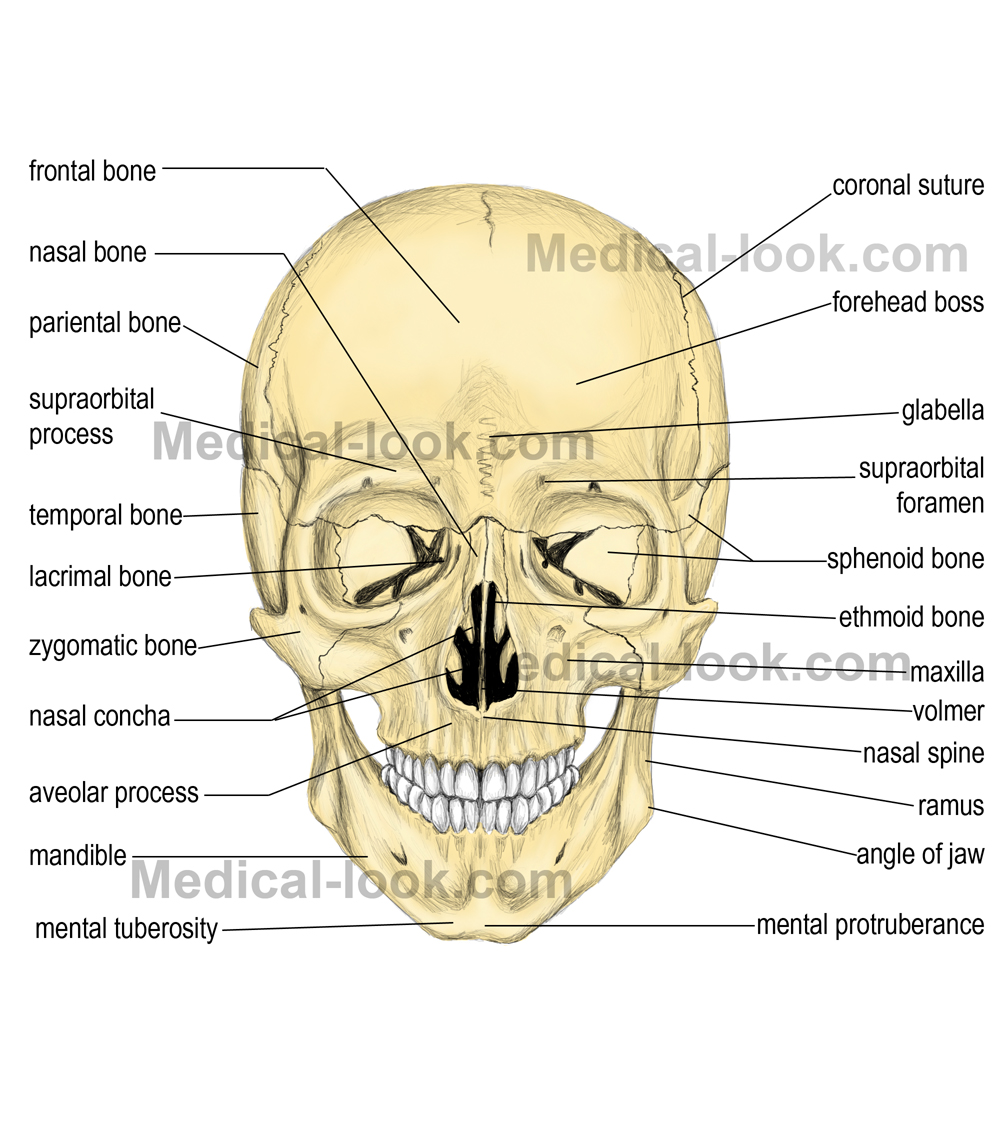 Skull and Facial Bones Flashcards Quizlet